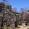 Photos: 紅梅殿と枝垂れ梅