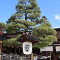 Photos: 左近の松