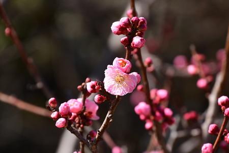 まだ咲き始めの紅梅