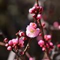 Photos: まだ咲き始めの紅梅