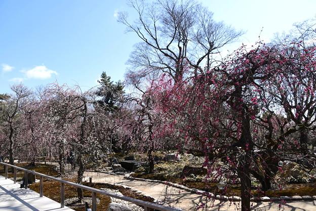 文道会館前の梅