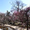 Photos: 文道会館前の梅