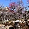 Photos: 文道会館と梅
