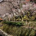 Photos: 紙屋川沿いの梅