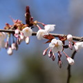 Photos: 山桜(ヤマザクラ)
