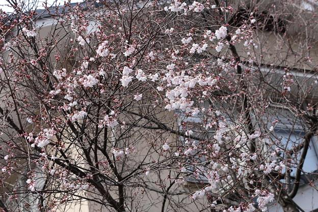 Photos: 天理教教会の桜
