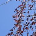 Photos: 出水の糸桜