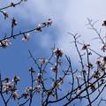 Photos: 咲き始めた山桜