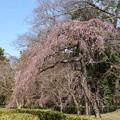 Photos: 近衛邸跡の糸桜