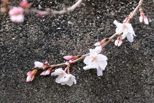 天理教教会の桜