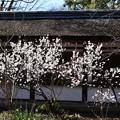 満開の桃桜