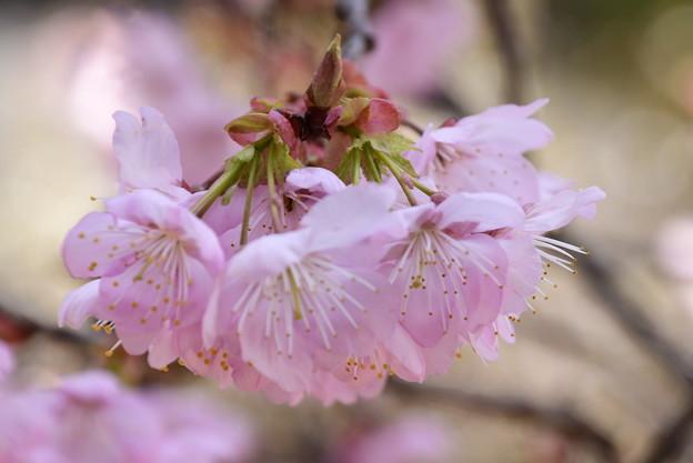 知恩寺の桜
