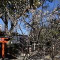 Photos: 平野神社の白梅