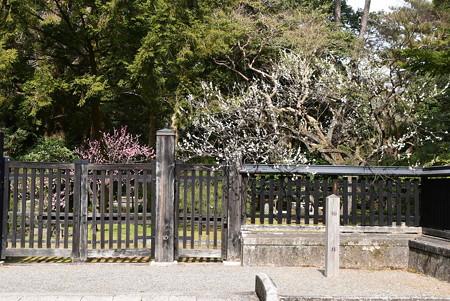中山邸跡の梅