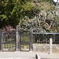 Photos: 中山邸跡の梅