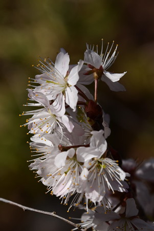 桃桜(モモザクラ)、唐実桜(カラミザクラ)