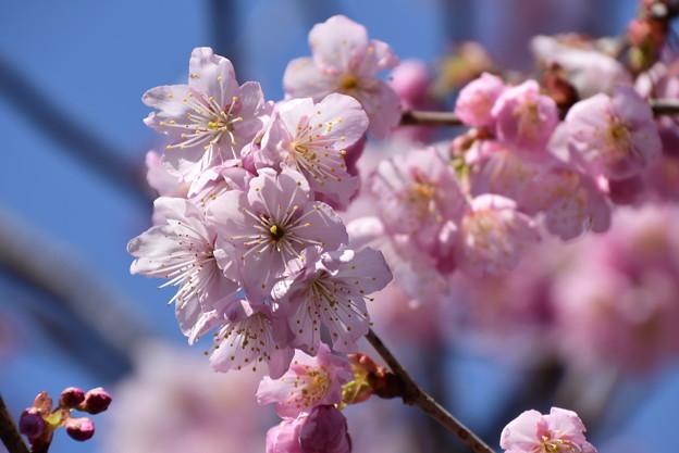 善導院の桜