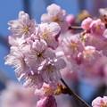 Photos: 善導院の桜