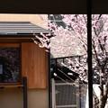 善導院の桜風景