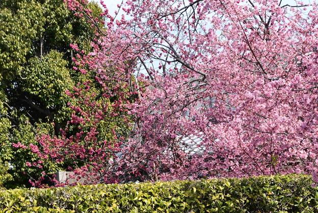 オカメと八重寒緋桜(ヤエカンヒザクラ)