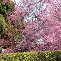 Photos: オカメと八重寒緋桜(ヤエカンヒザクラ)