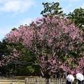 Photos: 黒木の梅