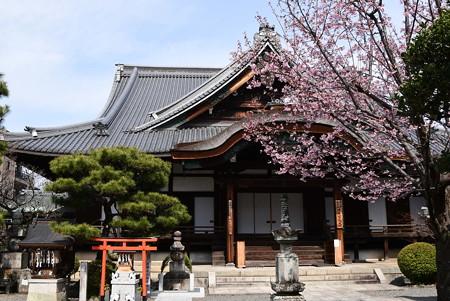 清浄華院の蜂須賀桜(ハチスカザクラ)