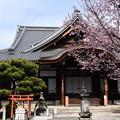 Photos: 清浄華院の蜂須賀桜(ハチスカザクラ)