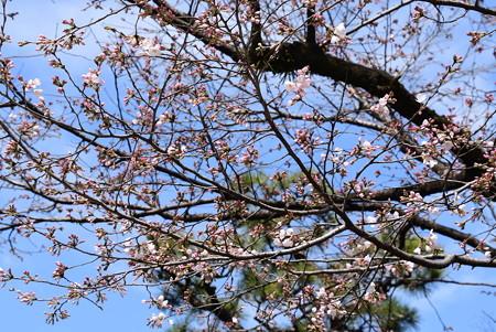 冷泉家の桜