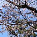 Photos: 冷泉家の桜
