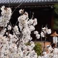 Photos: 唐実桜(カラミザクラ)