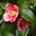 高嶺の花(タカネノハナ)