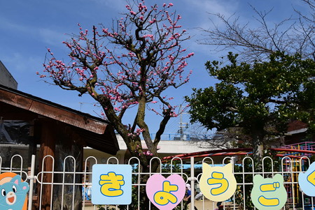 幼稚園の遅咲きの紅梅