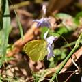 菫に止まる黄蝶(キチョウ)