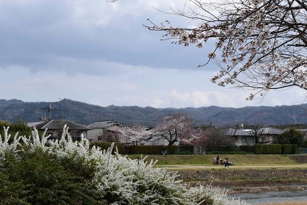 賀茂川の染井吉野と雪柳