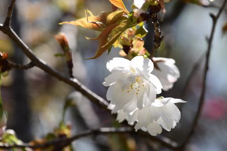 養老桜(ヨウロウザクラ)