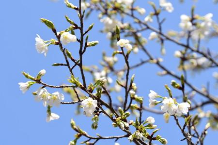月光桜(ゲッコウザクラ)