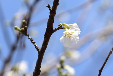 富士桜(フジザクラ)