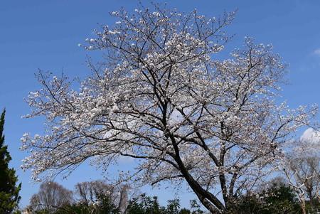 盆栽園の染井吉野