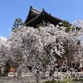 山門脇の枝垂れ桜