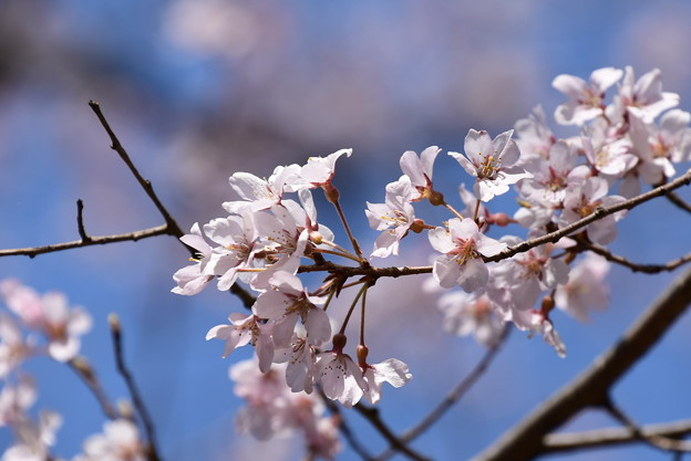 縦皮桜(タテカワザクラ)