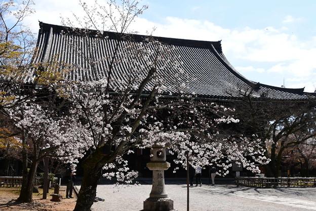 本堂前の染井吉野