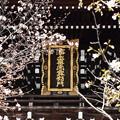 「浄土真宗最初門」を彩る桜