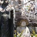 アフロ地蔵を飾る染井吉野