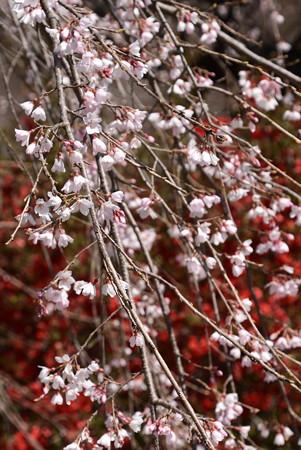 三春滝桜(ミハルタキザクラ)