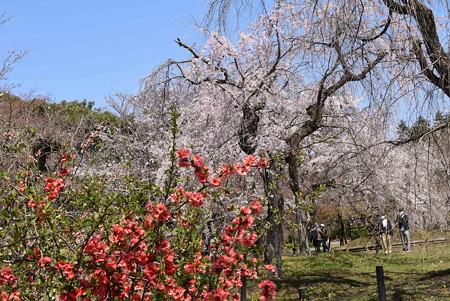 木瓜と枝垂れ桜