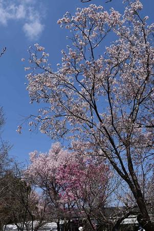 越の彼岸桜と陽光