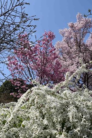 雪柳と陽光、越の彼岸桜