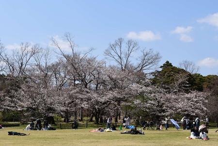 染井吉野咲く府立植物園