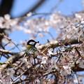 Photos: 桜の中の四十雀(シジュウカラ)